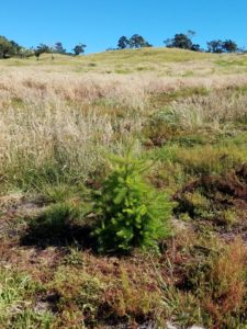 douglas-fir-at-hummula-8-2016-2-web