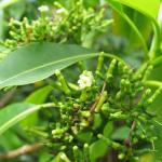 Hao plant