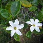 Na'u Hawaiian Gardenia